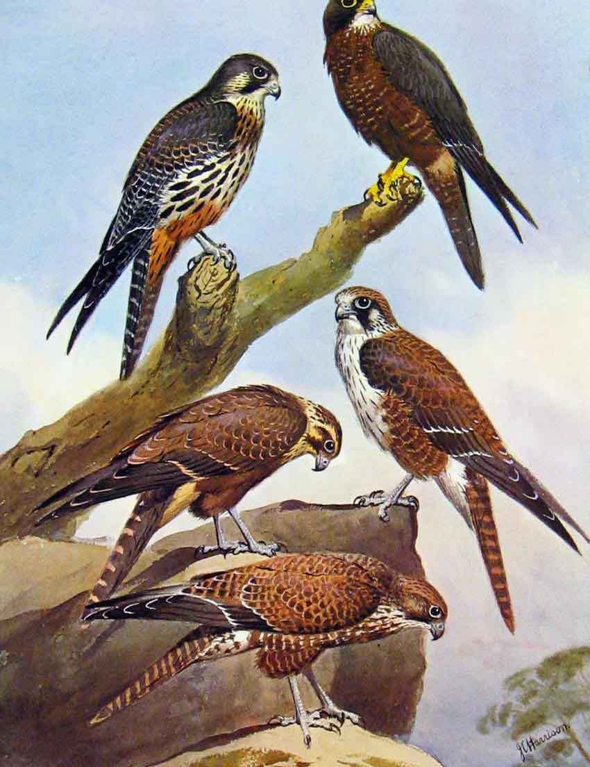 [Print Eagles Hawks & Falcons New Zealand Hawk Brown Hawk 51E7681 Old Original]
