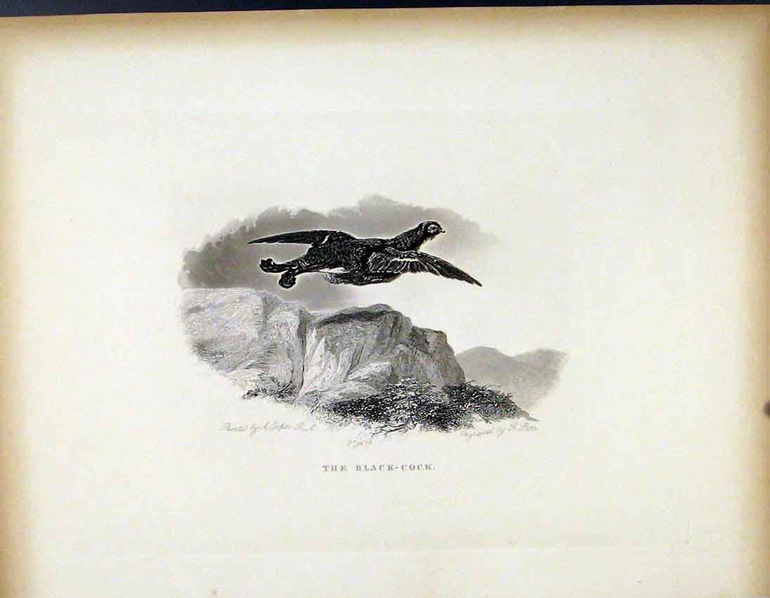 Print The Balck Cock C1843 Fine Art Birds 277691 Old Original