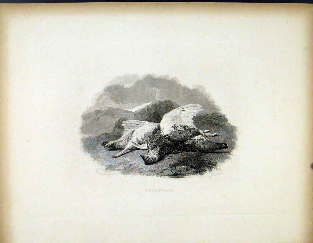 Print Ptarmigan C1843 Dead Shot Hunted Birds 287691 Old Original