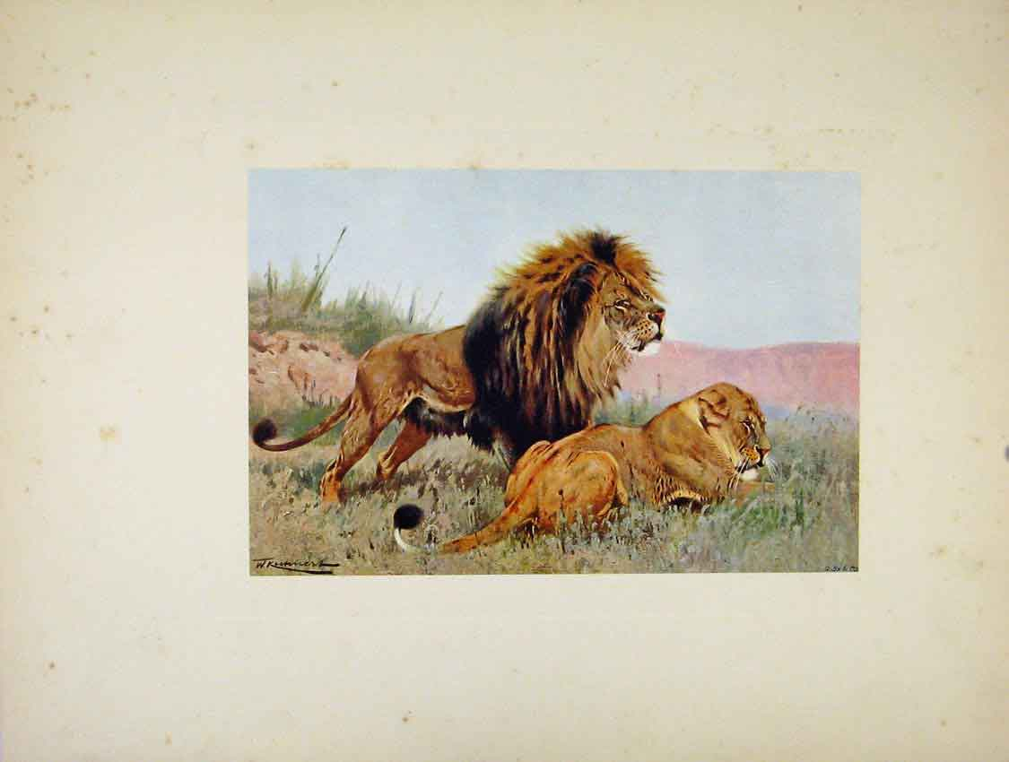 Print Portraiture The Lion Lioness Wild Animals 017741 Old Original
