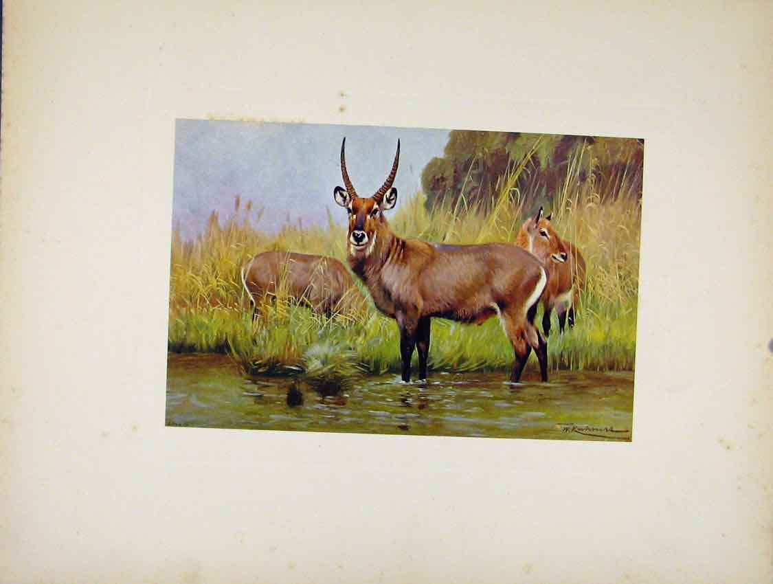 Print Defassa Water Buck Animal Colored Portraiture 097741 Old Original