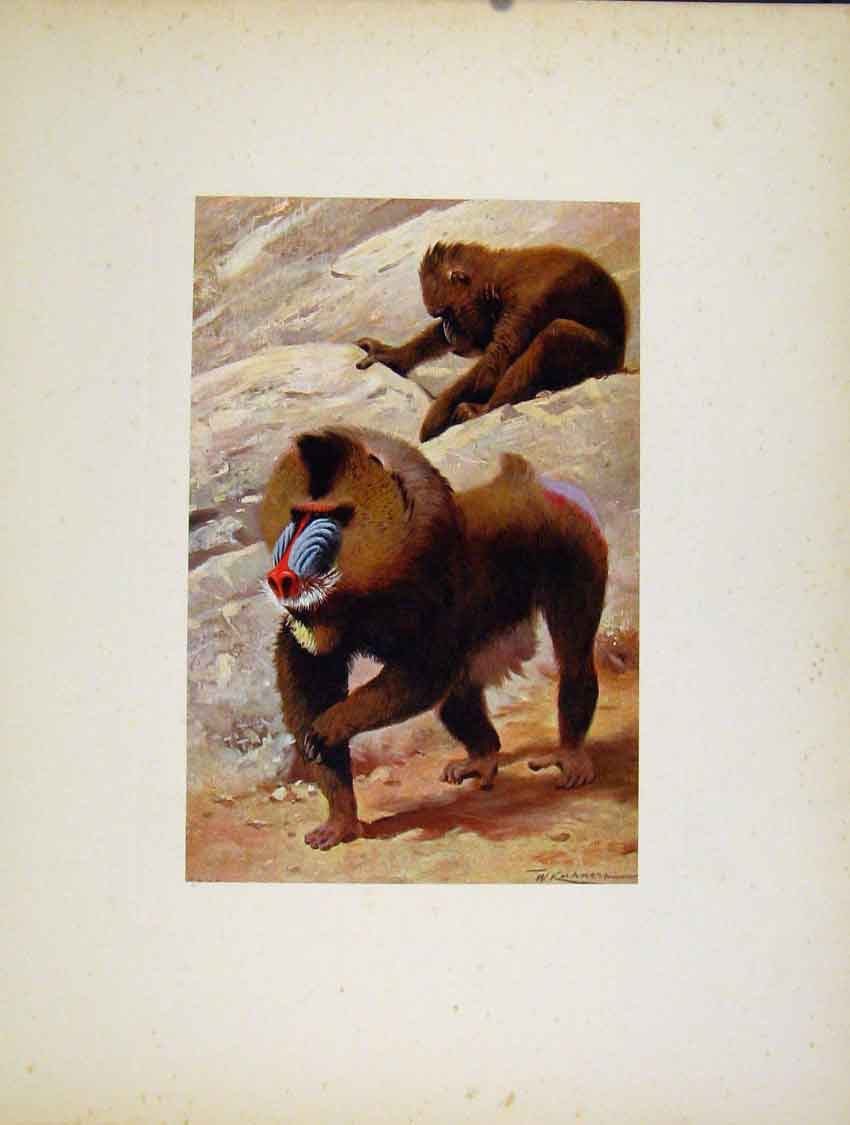 Print Colored Fine Art Portraiture Mandrill Animal 127741 Old Original