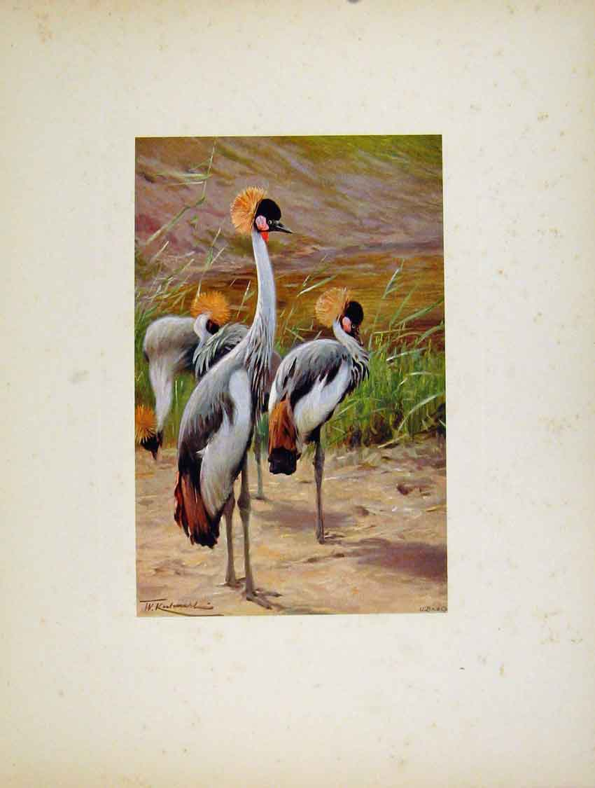 Print Katin Crowned Crane Birds Animals Portraiture 187741 Old Original