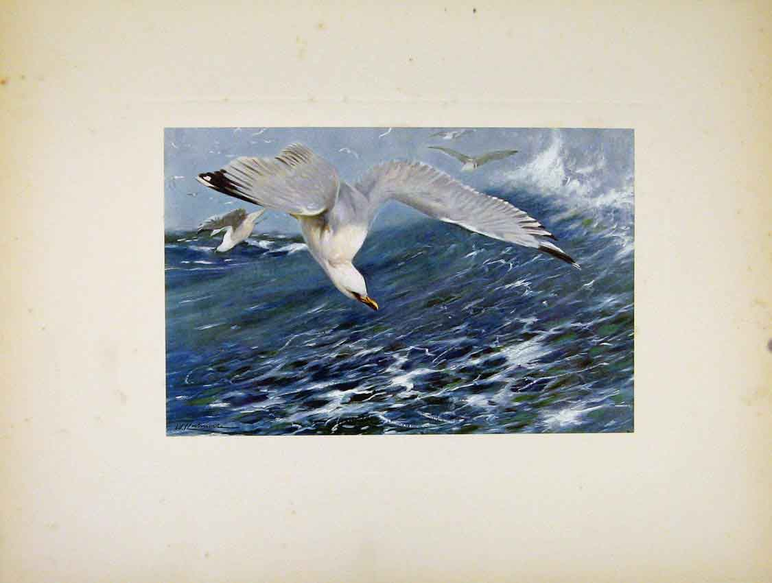 Print Silver Gull Birds Colored Fine Art Portraiture 197741 Old Original