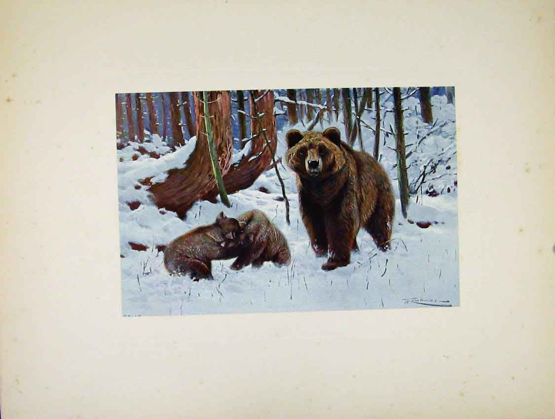Print Brown Bear Portraiture Colored Art 267741 Old Original