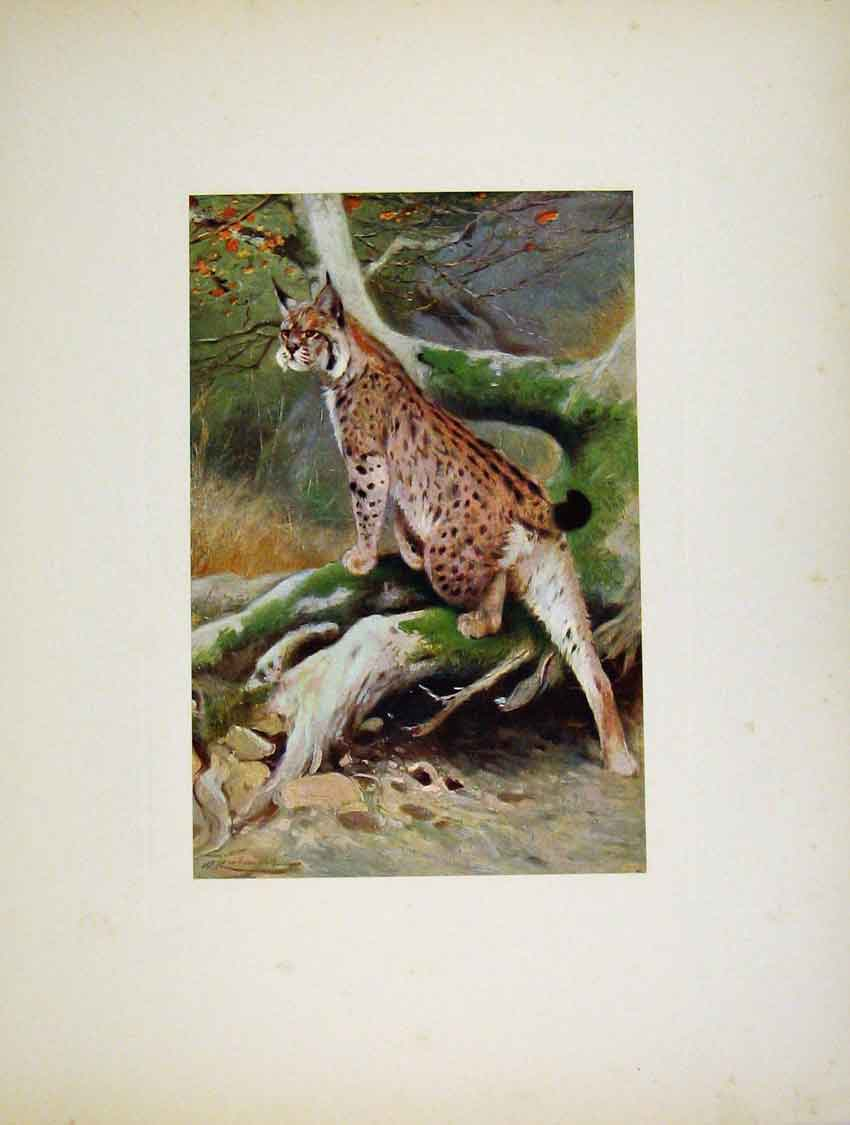 Print Portraiture Fine Art Colored Lynx Cat 297741 Old Original