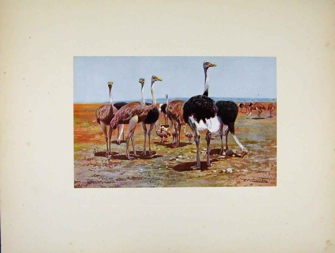 Print Bird Portraiture Somali Ostrich Art 427741 Old Original