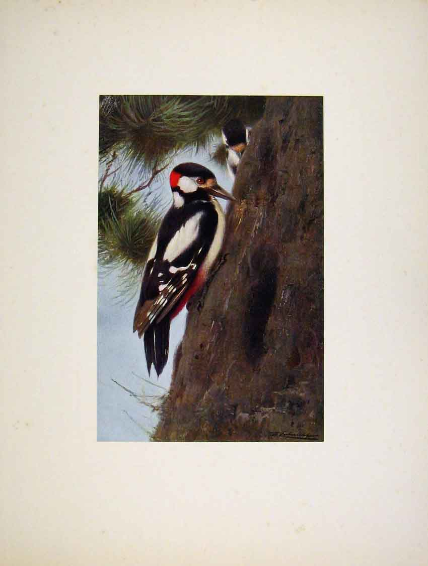 Print The Grat Spoted Wood Pecker Portraiture Art 477741 Old Original