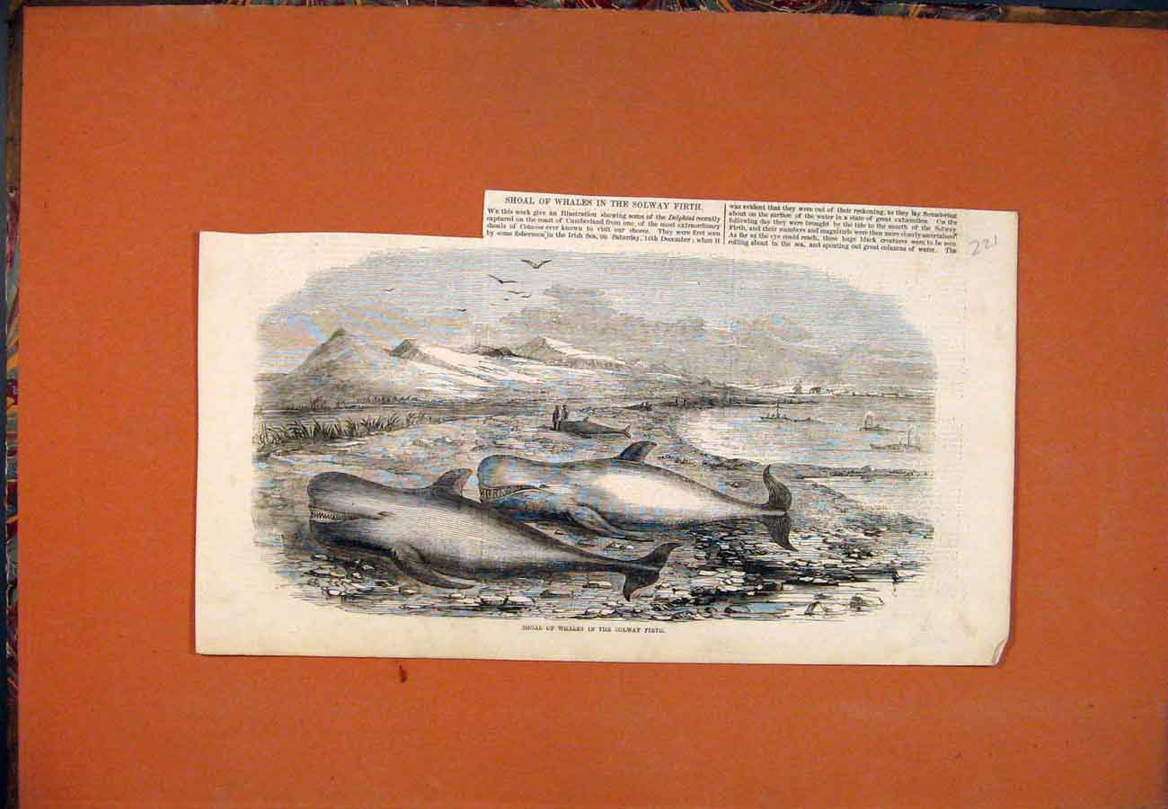 Print Shoal Whales Solway Firth Cumberland 217761 Old Original