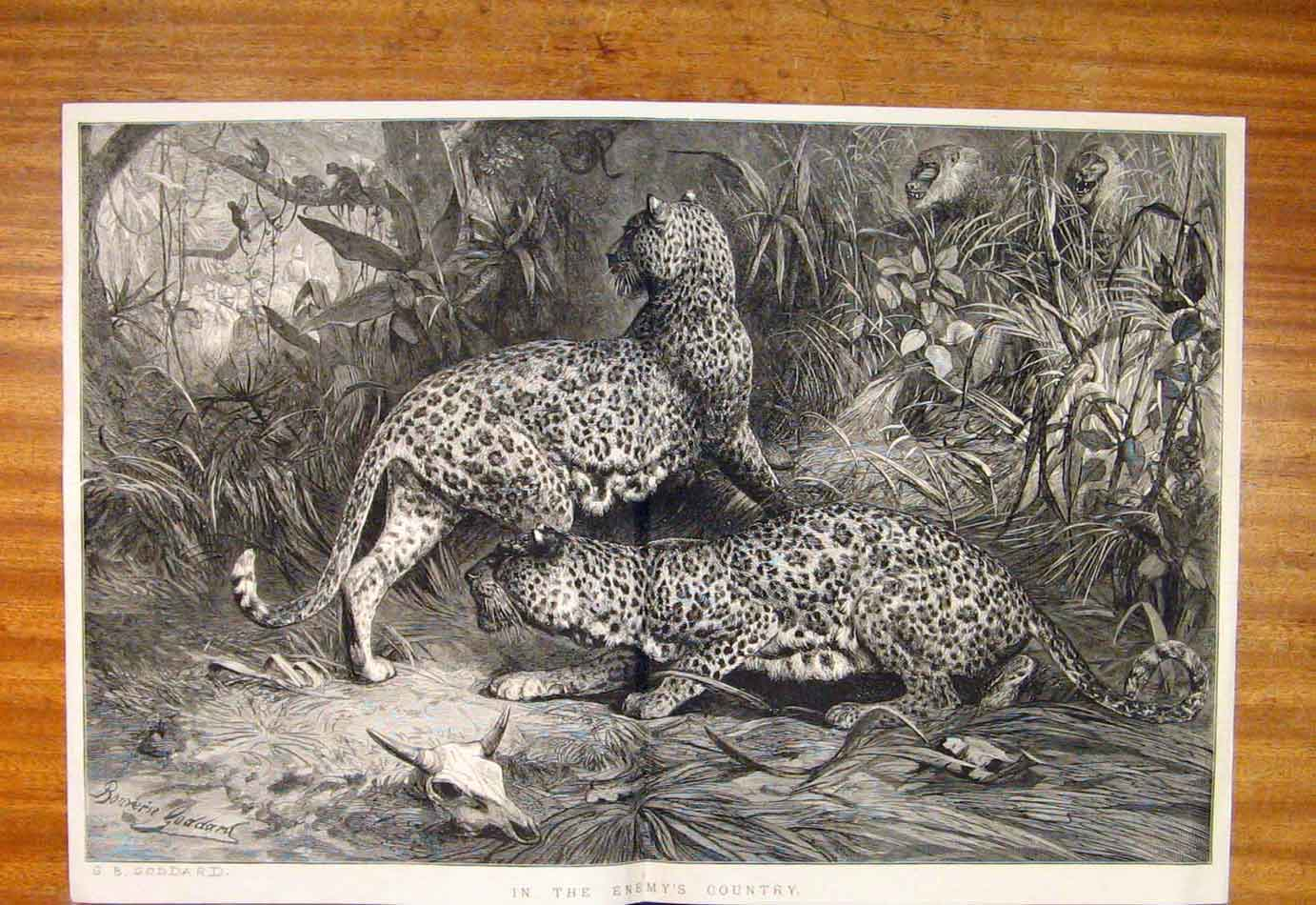 Print Enemy'S Country Goddard Fine Art Leopards 527761 Old Original