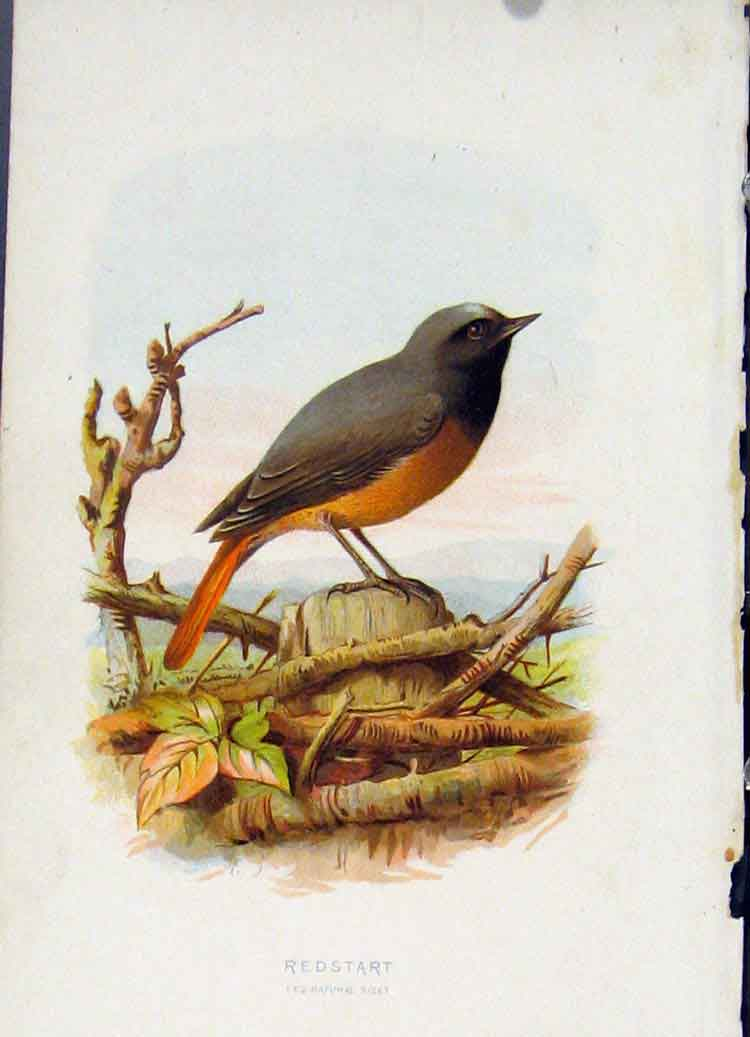 Print Fine Art C 1883 Redstart Bird 247851 Old Original