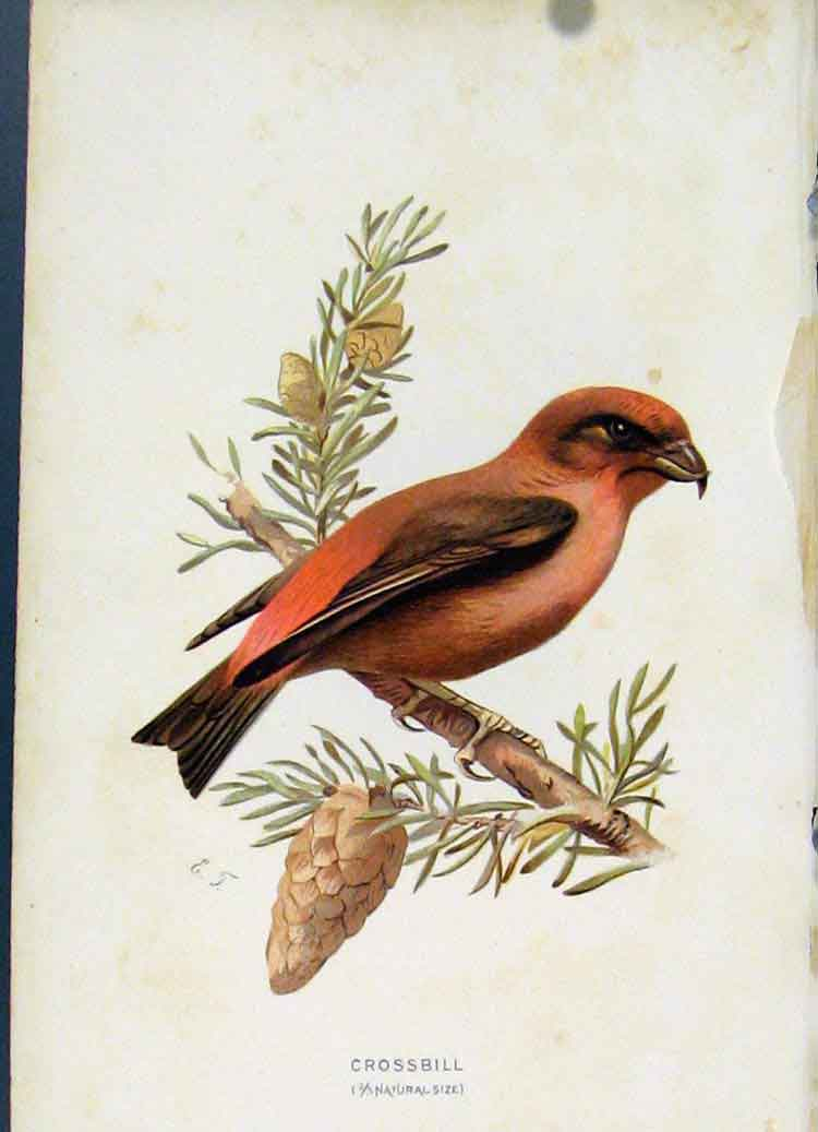 Print Birds C 1883 Crossbill Color Art 367851 Old Original