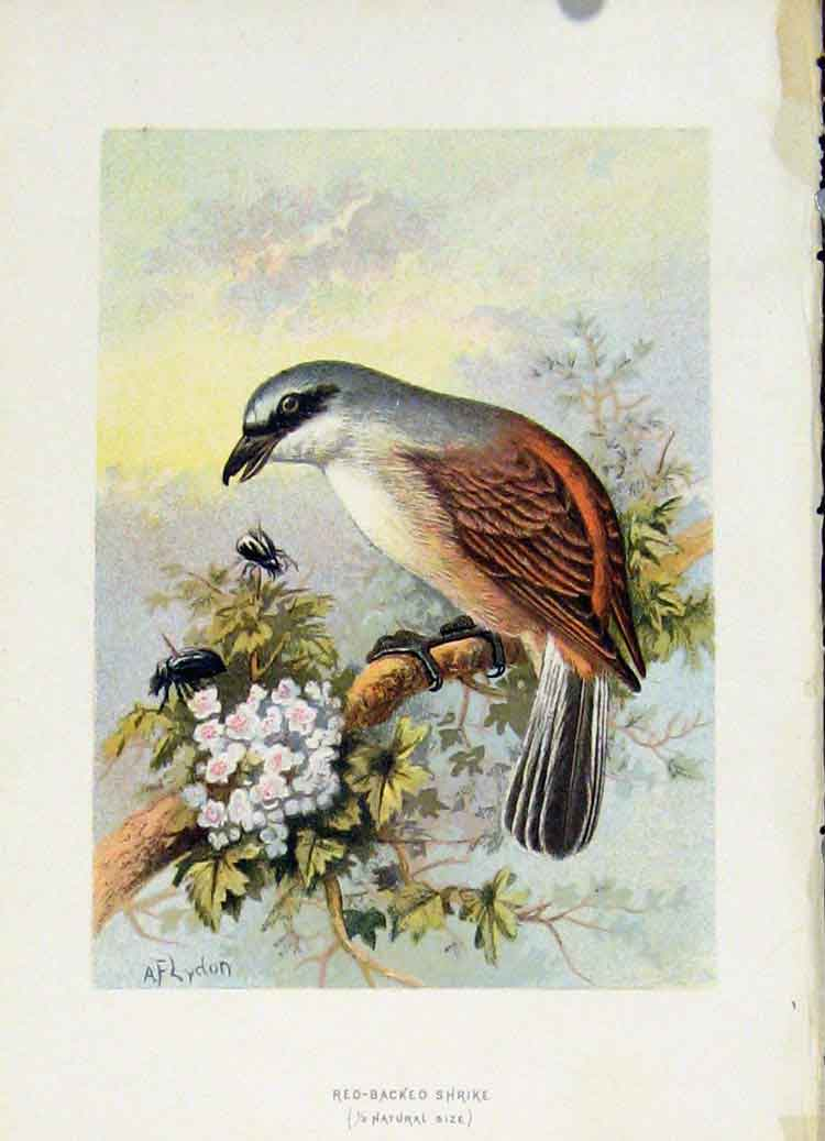 Print Familiar Wild Birds C1883 Red Backed Shrike 097851 Old Original