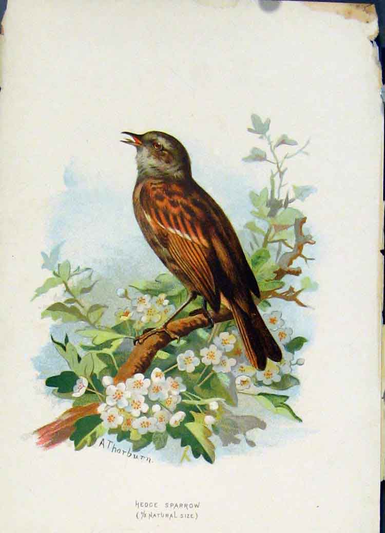 Print Familiar Wild Birds C1883 Hedge Sparrow Color 247851 Old Original