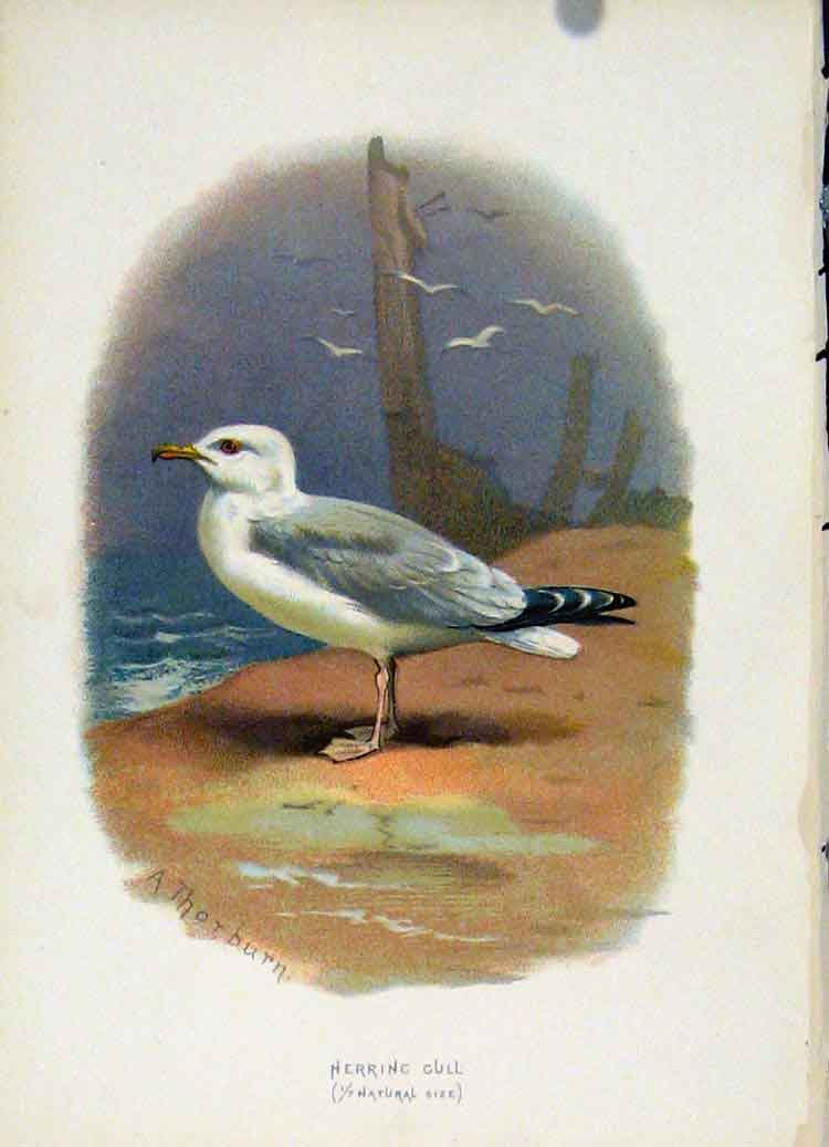 Print C 1883 Familiar Birds Color Herring Gull 067851 Old Original