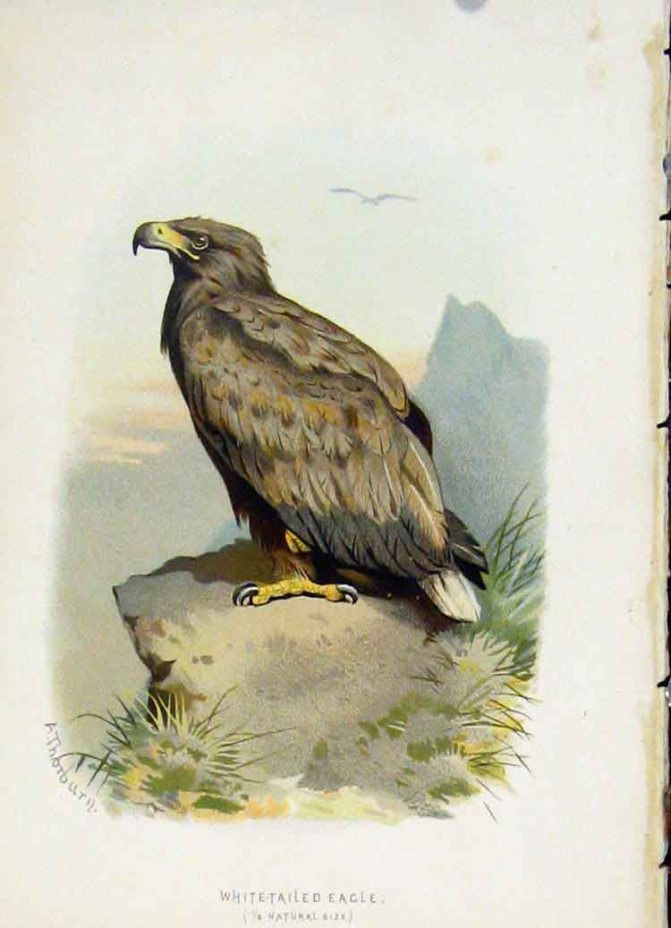 Print C 1883 Familiar Birds White Tailed Eagle 137851 Old Original