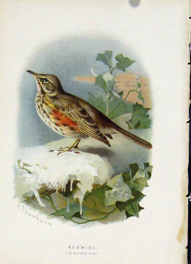 Print C 1883 Familiar Birds Redwing Color Fine Art 177851 Old Original