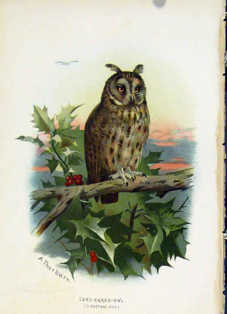 Print C 1883 Familiar Birds Long Eared Owl Color Art 197851 Old Original
