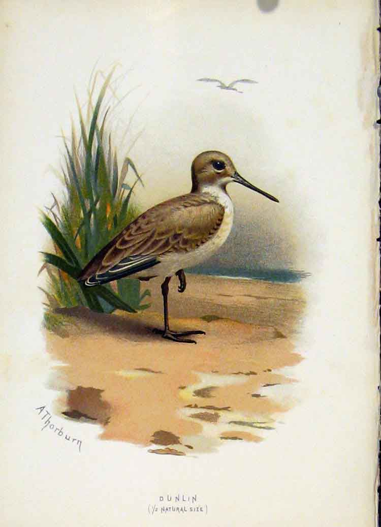 Print C 1883 Familiar Birds Dunlin Fine Art Color 297851 Old Original