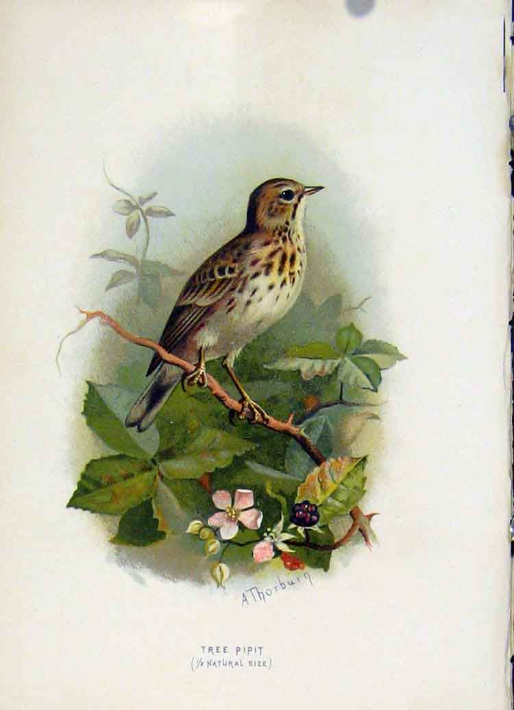 Print C 1883 Familiar Birds Color Tree Pipit 307851 Old Original