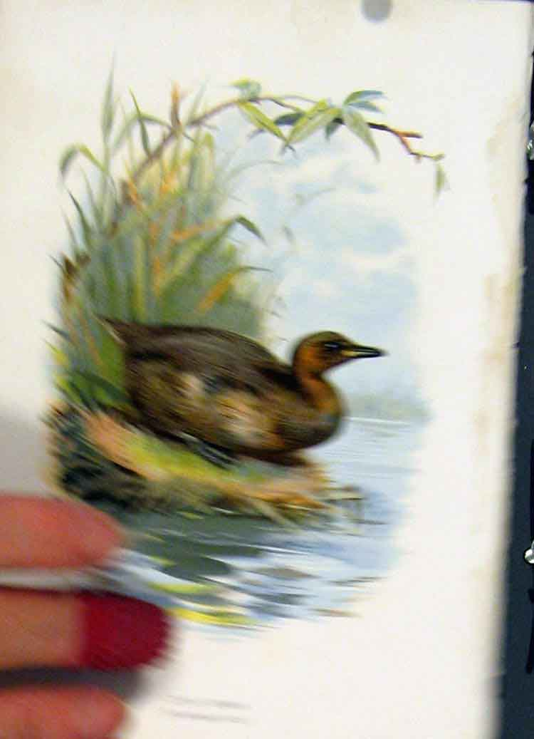 Print C 1883 Familiar Birds Color Little Grebe 347851 Old Original