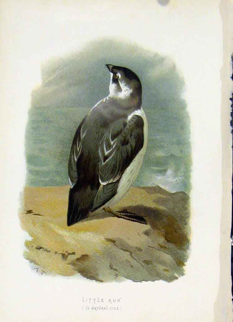 Print C1883 Thorburn Wild Birds Color Little Auk 107851 Old Original