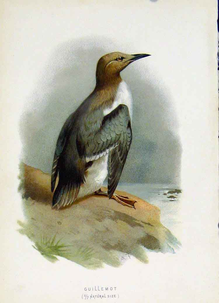 Print C1883 Thorburn Wild Birds The Guillemot Color 147851 Old Original
