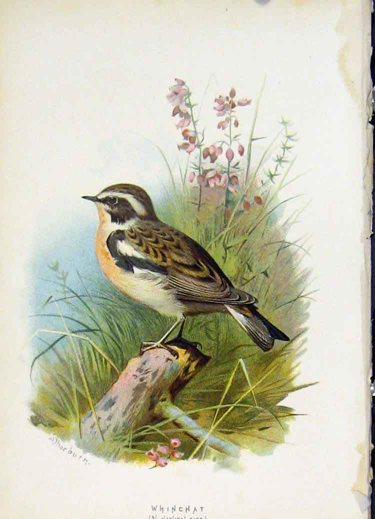 Print C1883 Thorburn Wild Birds Whinchat Color Fine Art 297851 Old Original