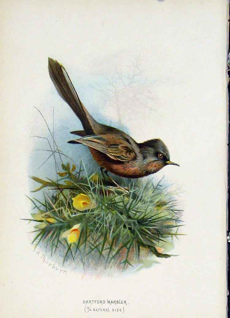 Print C1883 Thorburn Wild Birds Dartford Warbler Color Art 357851 Old Original