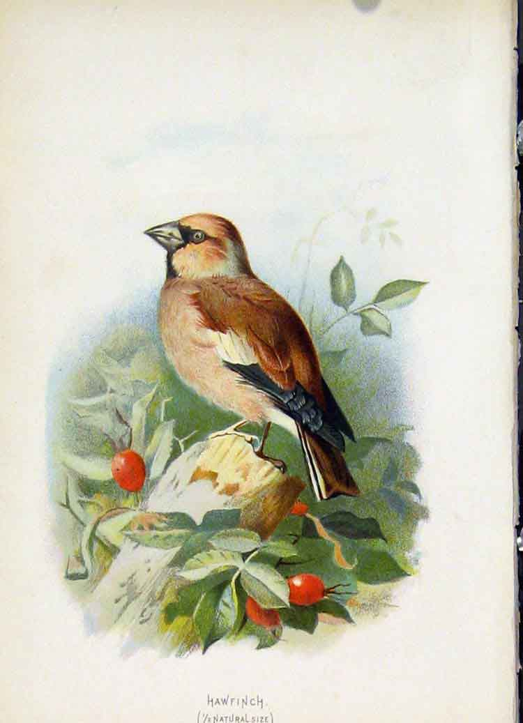 Print C1883 Thorburn Wild Birds Hawfinch Color Fine Art 377851 Old Original