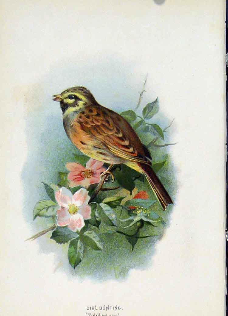 Print C1883 Thorburn Wild Birds Cirl Bunting Fine Art Color 387851 Old Original