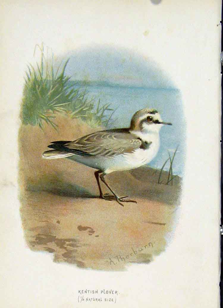 Print C1883 Thorburn Wild Birds Kentish Plover 407851 Old Original