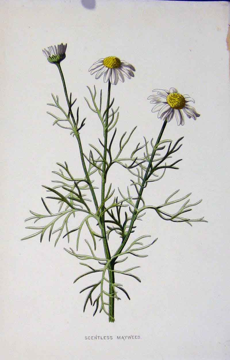 Print Scentless Mayweed Editorial Botanical Wild Flower C1883 167901 Old Original