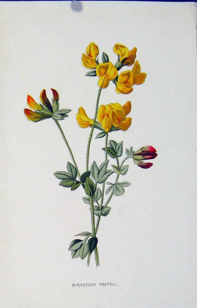 Print Fine Art Birds Foot Trefoil Editorial C1883 187901 Old Original