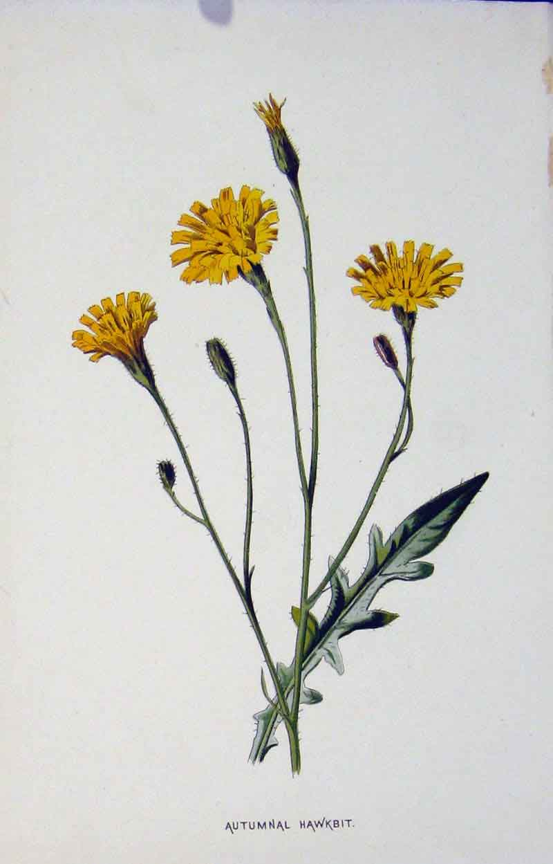 Print Autumnal Hawkbit Botanical C1883 Color 277901 Old Original