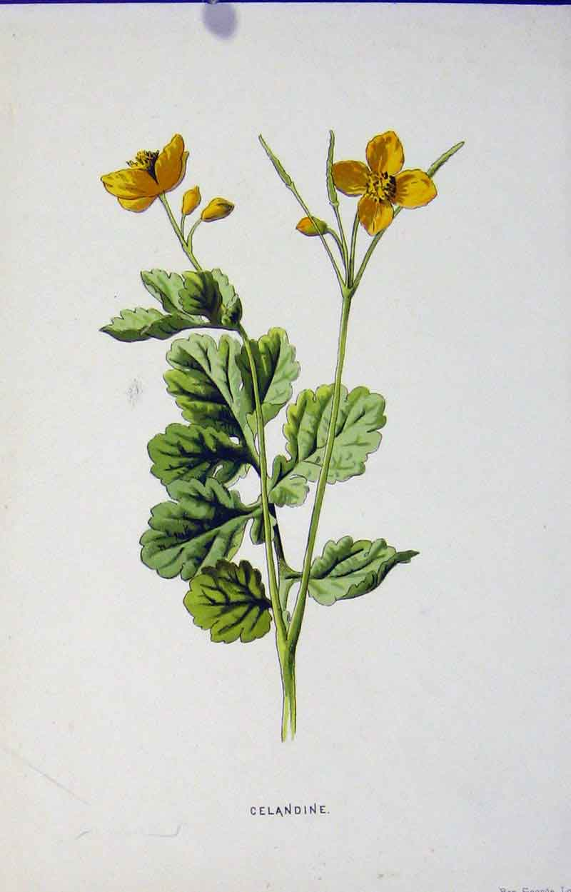 Print Celandine Editorial Wild Flower Art 297901 Old Original