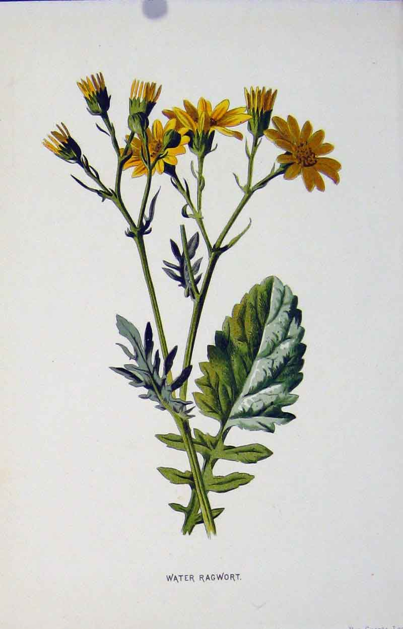 Print Water Rag Wort Plant Wild Flower Fine Art 317901 Old Original