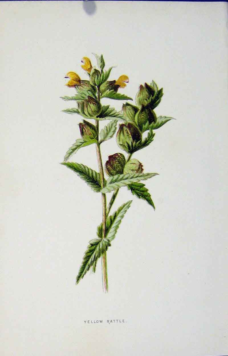 Print Yellow Rattle Botanical Fine Art C1883 Editorial 147901 Old Original