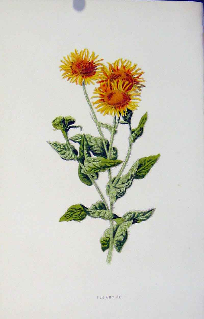 Print Fine Art Fleabane Colored Editorial Included 1883 317901 Old Original