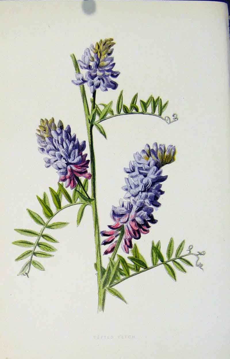 Print Editorial Wild Flower Tufted Vetch Color 327901 Old Original