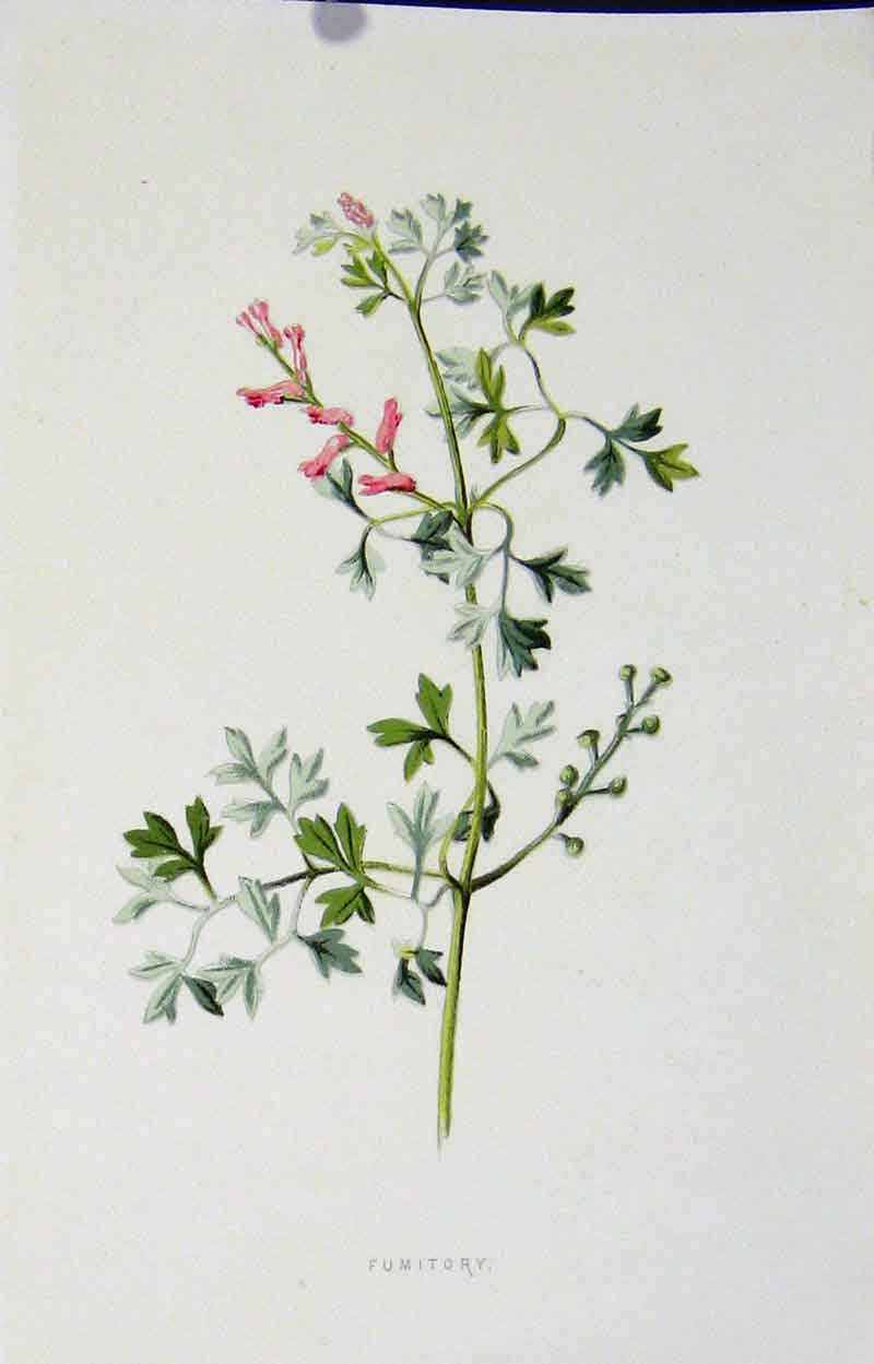 Print Botanical Color C1883 Fumitory Plant Art 407901 Old Original