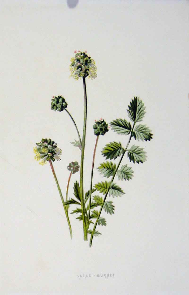 Print Fine Art Salad Burnet Wild Flower C1883 Color 367901 Old Original