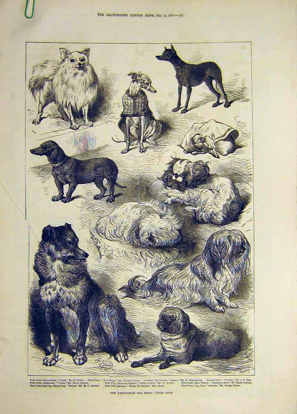 [Print 1877 Birmingham Dog Show Prize Dogs 197921 Old Original]