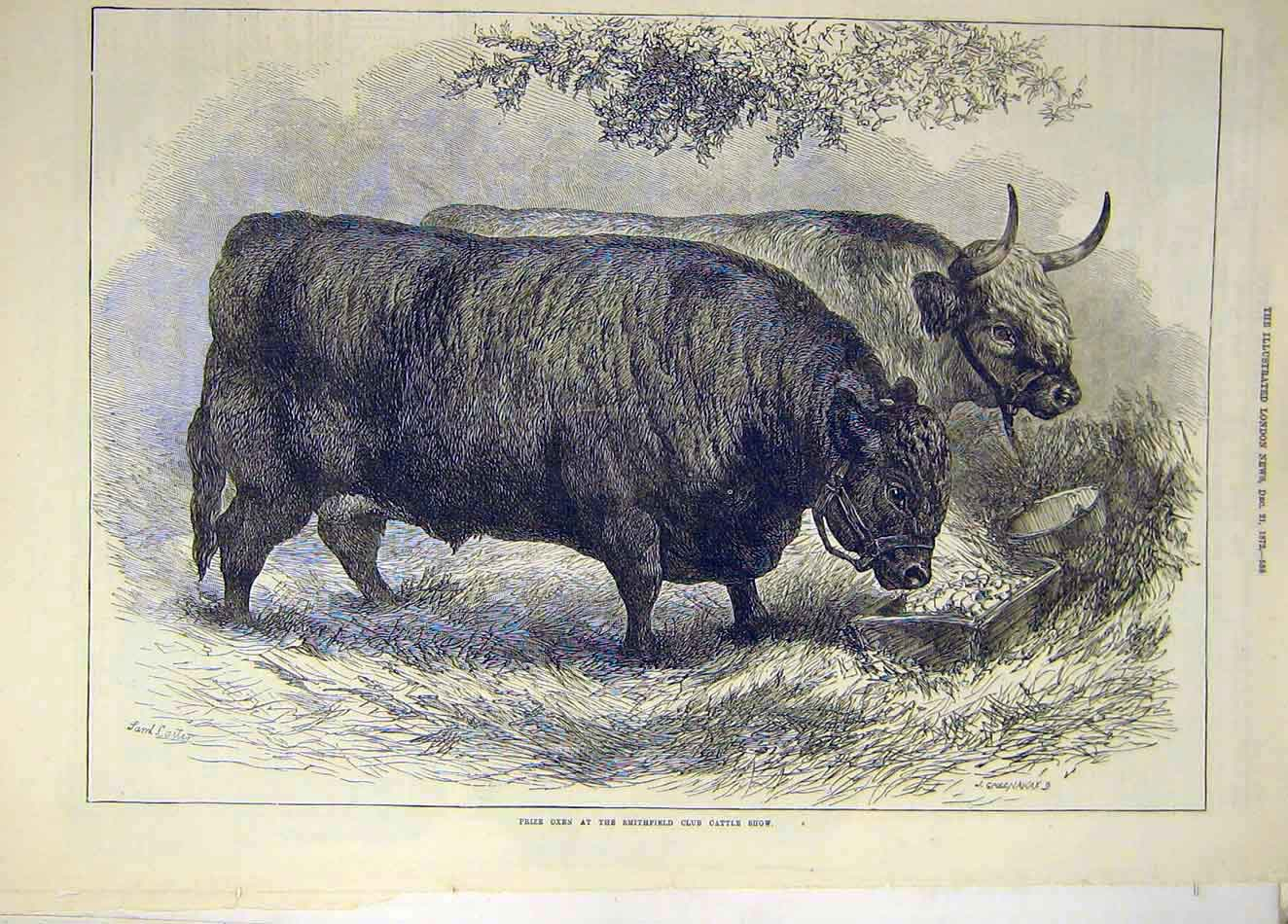Print 1872 Prize Oxen Smithfield Cattle Show Animal 807921 Old Original