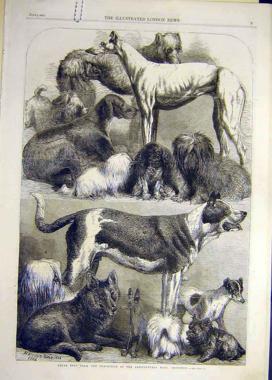 [Print 1862 Islington Dog Show Prize-Dogs Animal 097921 Old Original]