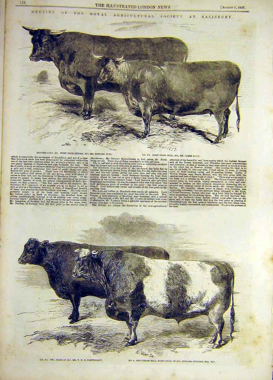 Print 1857 Cattle Devon Heifer Bull Shorthorn Salisbury Show 437921 Old Original