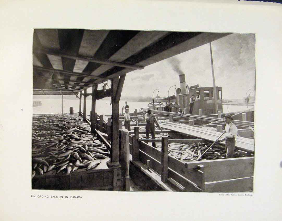 Print Unloading Salmon Canada Canning Salmon Photographs 39R8161 Old Original