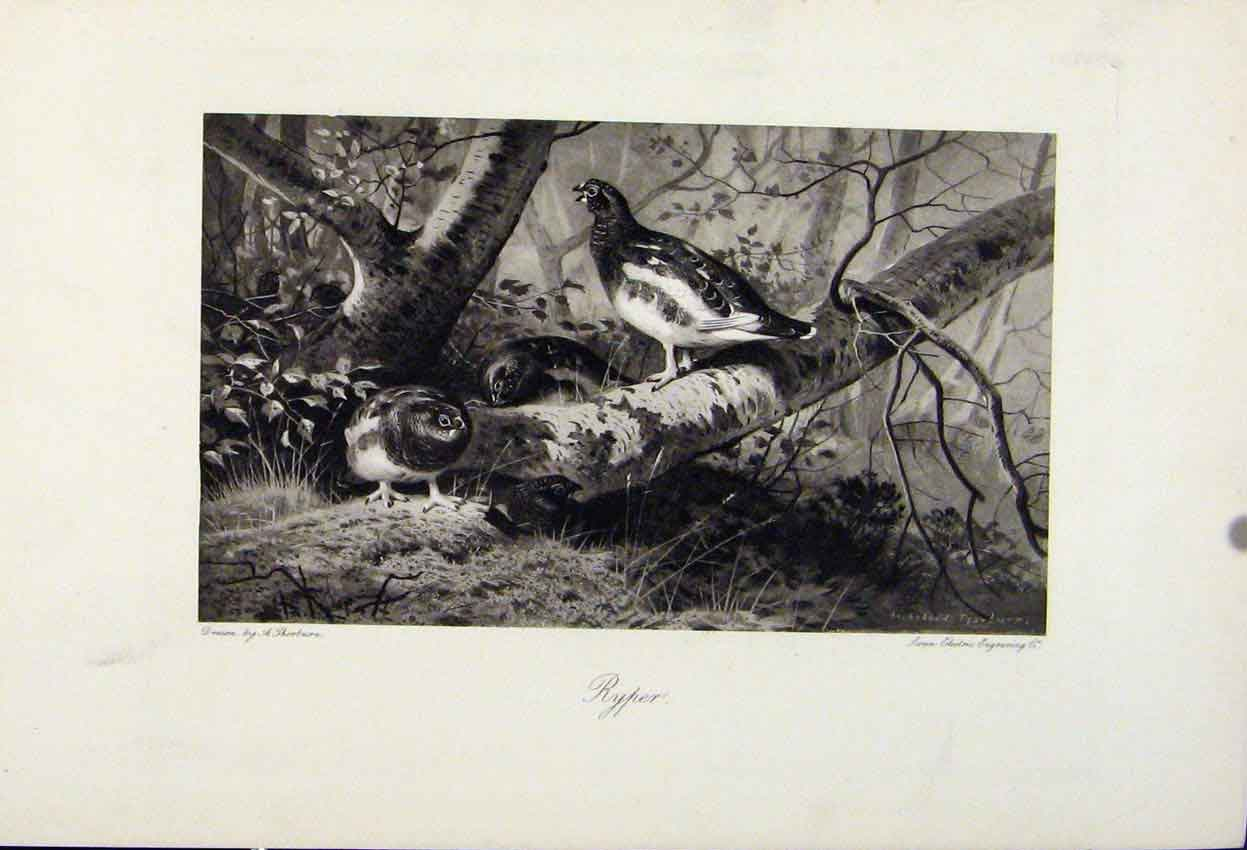 Print Ryper Birds Animals The Encyclopedia Sport 058241 Old Original