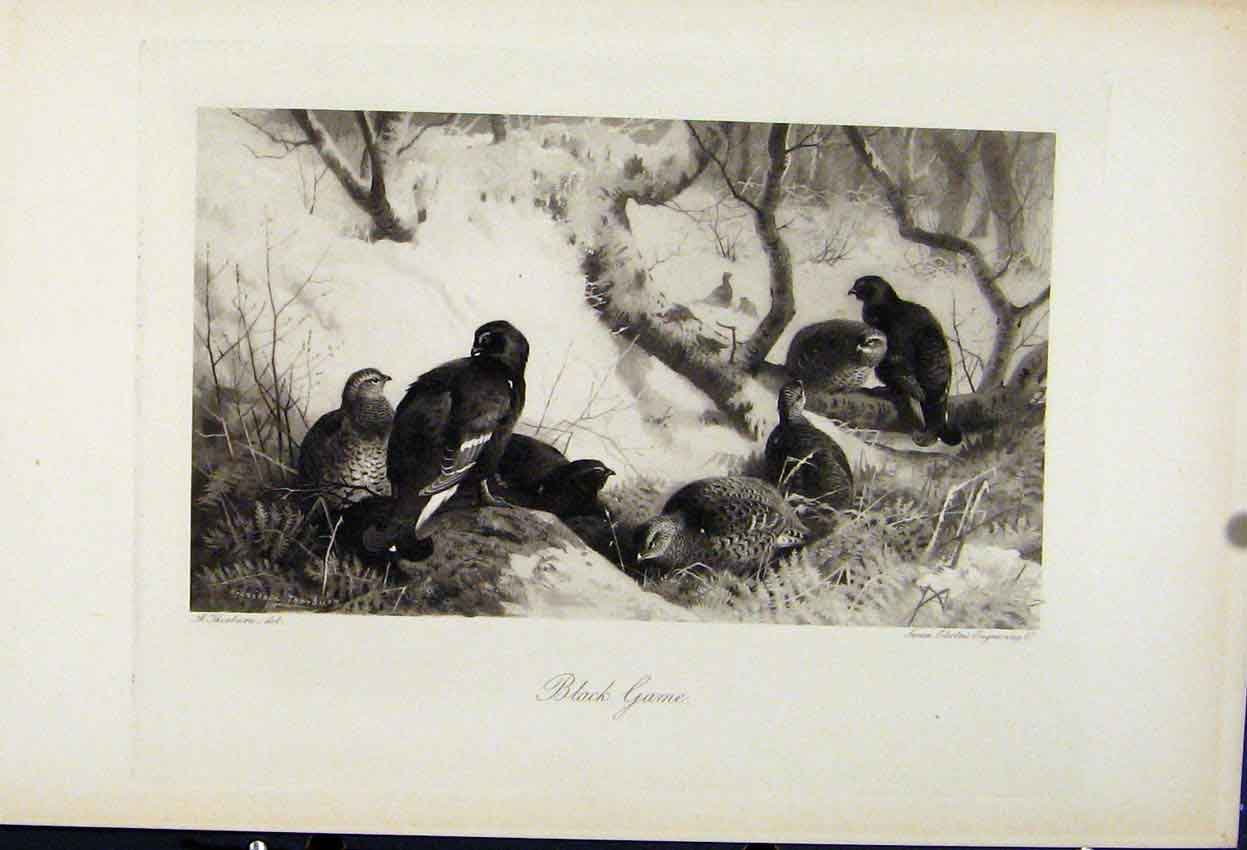 Print Black Game Birds C1898 The Encyclopedia Sport 148241 Old Original