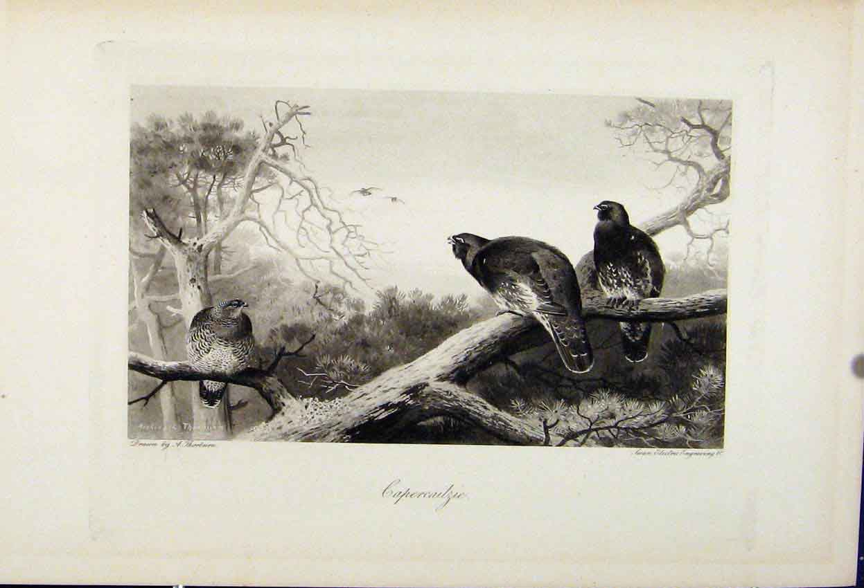 Print Capercailzie The Encyclopedia Sport Birds C1898 Art 158241 Old Original